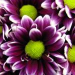 """""""Delicate Purple"""" by rhondabarrett"""