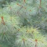 """Pines"" by rhondabarrett"