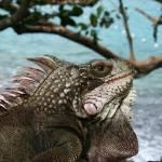 """""""Iguana"""" by klew1226"""