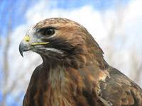 Redtailed Hawk Mountsberg