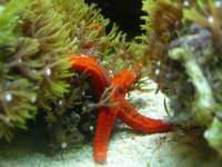 red star fish 2