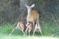 Mother White-tailed Deer with Babies