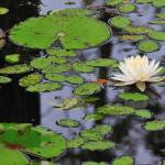 """Water Lilly and pads"" by RobertDonovan"