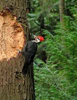 Pileated Woodpecker WA