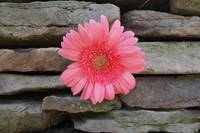 Wallflower, Gerbera Daisy