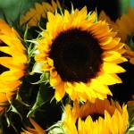 """Sunflowers 8706"" by photohogdesigns"