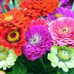 """Zinnias 8709"" by photohogdesigns"