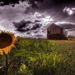 """Sunflower"" by vicshaw"