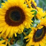"""Sunflowers"" by mg"