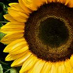 """Sunflower Blossom Closeup"" by DigiPix"