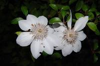 floral white clematis