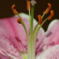 Lily Pistil and Stamina Art Prints & Posters by kaydadesigns