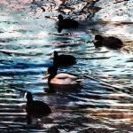 """""""Ducks Ahoy"""" by lochithea"""