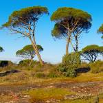 """Parasol pines in Provence - Panoramic landscape"" by frenchlandscapes"
