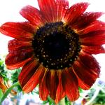 """Red Sunflower"" by kelleyphotography"