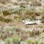 """""""Galloping Grey Wolf"""" by the-hole-picture"""