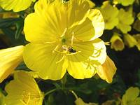 Primrose with bee