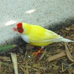 """Yellow Lady Gouldian Finch"" by stockphotos"