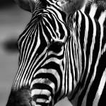 """Zebra posing"" by JulitaS"