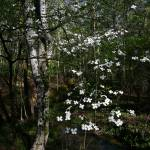 """""""Dogwood in Bloom"""" by jones3006"""