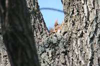 Cute Baby Red Squirrel