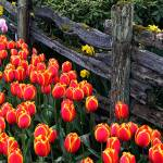 """Tulip Fence 1"" by gopnw"
