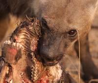 Hungry Hyena