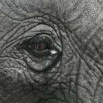 """elephant eye."" by wildpixelsteve"