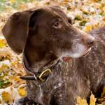 """German Shorthair Pointer"" by photosbysmith"