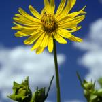 """Daisy reaching for the sky"" by photosbysmith"