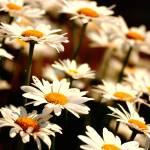 """""""daisy4"""" by digitalplains"""