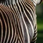 """""""Zebra"""" by kateeling"""
