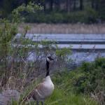 """""""Goose.jpg"""" by ryanborgstrom"""