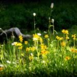 """Wild Flowers in Mt Rainier National Park"" by PatriciaDanielPhotography"