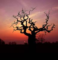 tree silhoutte against sunset