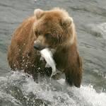 """Grizzly at Katmai National Park Alaska"" by PatriciaDanielPhotography"