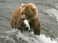 Grizzly at Katmai National Park Alaska