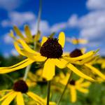 """Blue sky daisy"" by photosbysmith"