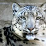 """Snow Leopard"" by Gretchen"