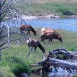 """Elk Old Faithful"" by azvirtual"