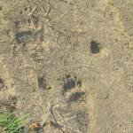 """Bear Footprints Yellowstone"" by azvirtual"