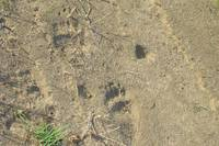 Bear Footprints Yellowstone