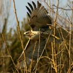 """Red tail Hawk"" by DavidCombs"