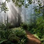 """Redwood Path"" by pbk"