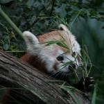"""""""Red Panda Hide n"""