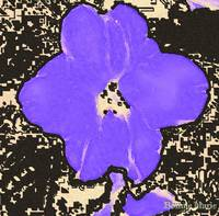Purple Pansy 2008-05