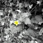 """Yello flower bw"" by PathwayToPeace"