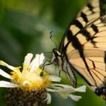 """""""Swallowtail on Zinnia"""" by SolacePointe"""