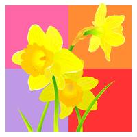 Daffodils against magenta backdrop