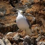 """""""Seagull - Gabbiano"""" by Riccardob"""